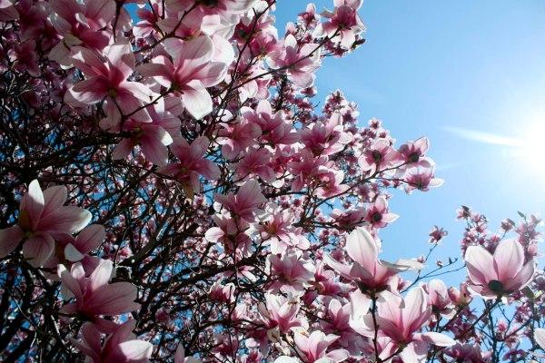 magnoliatree_web